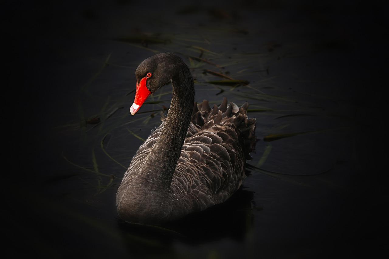 The Black Swan 2020